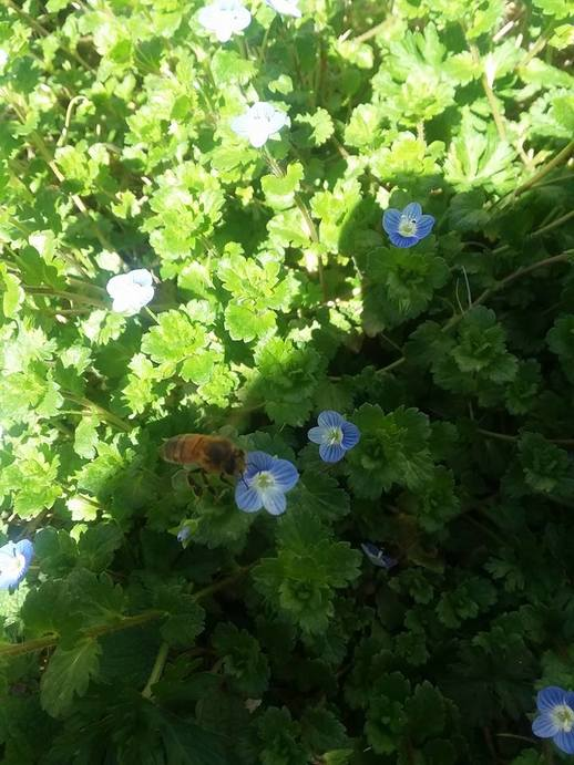Honey Bee on Bird Eye Speedwell (Veronica filiformis)