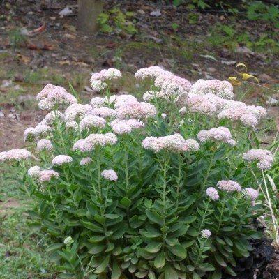 Stone crop Sedum