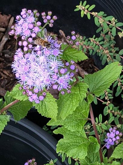 Ageratum - Blue Mist Flower - White Pollen