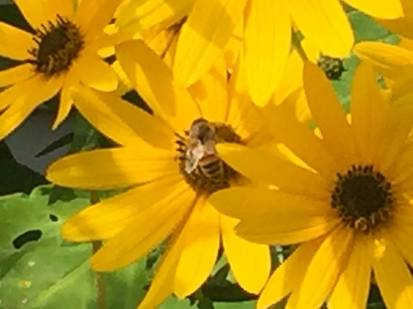 Honey Bee on Swamp Sunflower