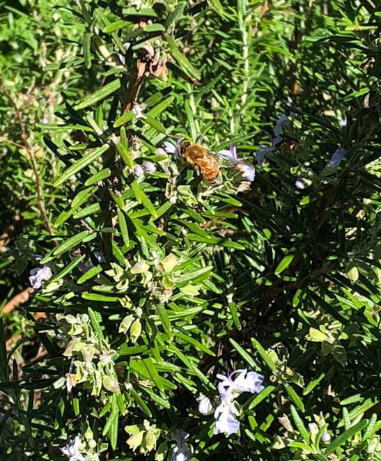 Rosemary and a Honey Bee